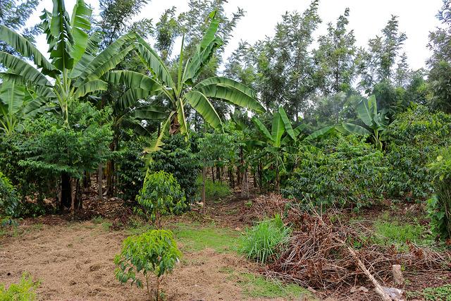 agroforestry uganda