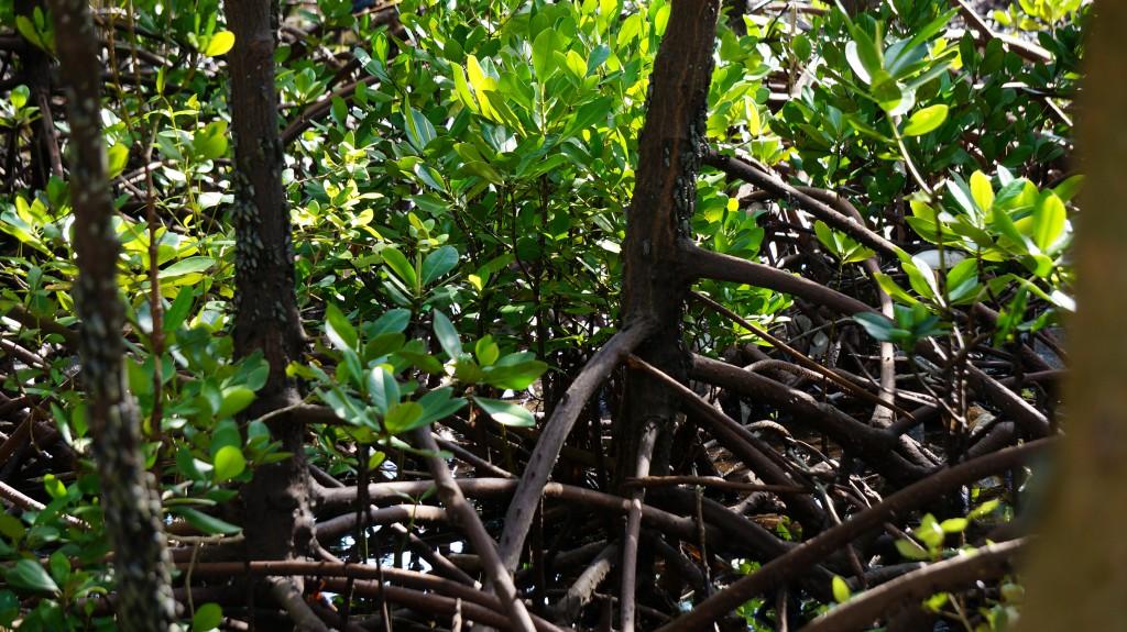 Rhizophora Mucronata - Plan Vivo mangrove trees in Gazi Bay, Kenya